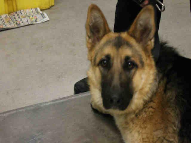 German Shepherd Dog Dog For Adoption In Modesto Ca Adn 826029 On