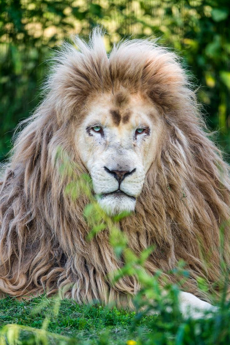 Punky the white lion II by Tambako The Jaguar*. What a stunningly beautiful, majestic creature!