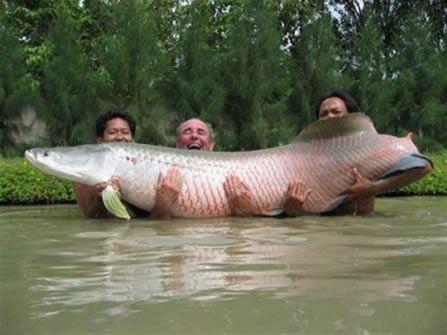 Pirarucu, a spectacular fish.(não gosto de pesca, tenho dó do peixe...)