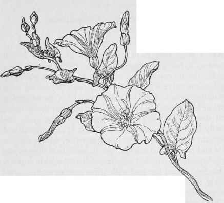 Field Morning glory  - September flower (junior's Death month) light to dark purple