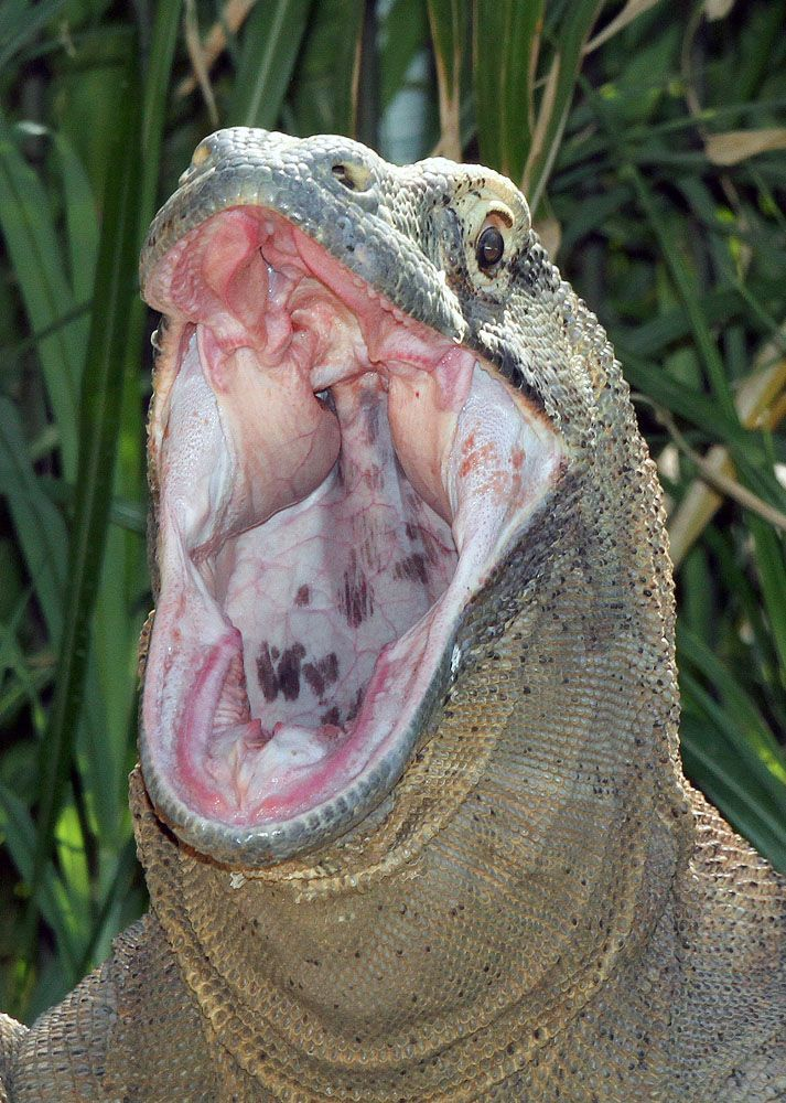 """""""Komodo dragons kill using a one-two punch of sharp teeth and a venomous bite, scientists have confirmed for the first time. The find dispels the common belief that toxic bacteria in the Komodos' mouths are responsible for ultimately killing the dragons' prey. ~ Carolyn Barry for National Geographic News May 18, 2009"""""""