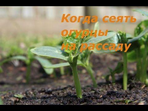 Когда сеять огурцы на рассаду. Посев семян в торфяные таблетки.