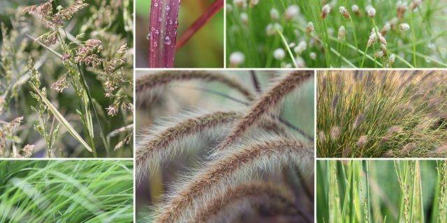 Okrasné trávy dodají zahradě lehkost - kostrava, ozdobnica