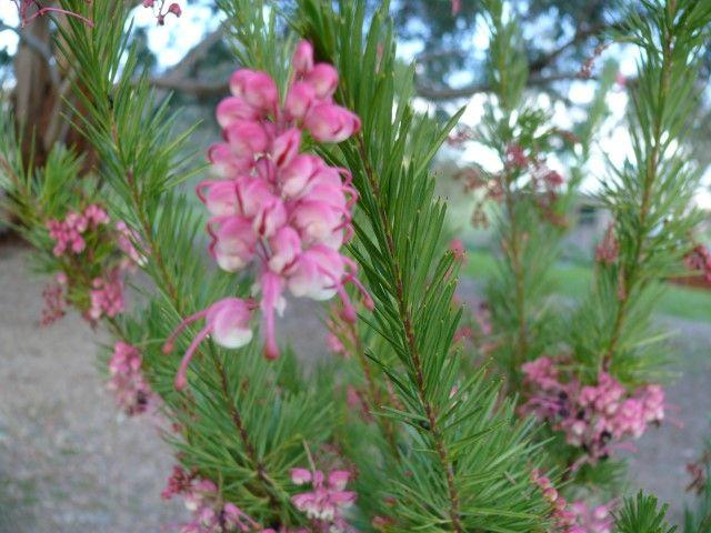 Grevillea Rosy Posy --- For more Australian native plants visit austraflora.com