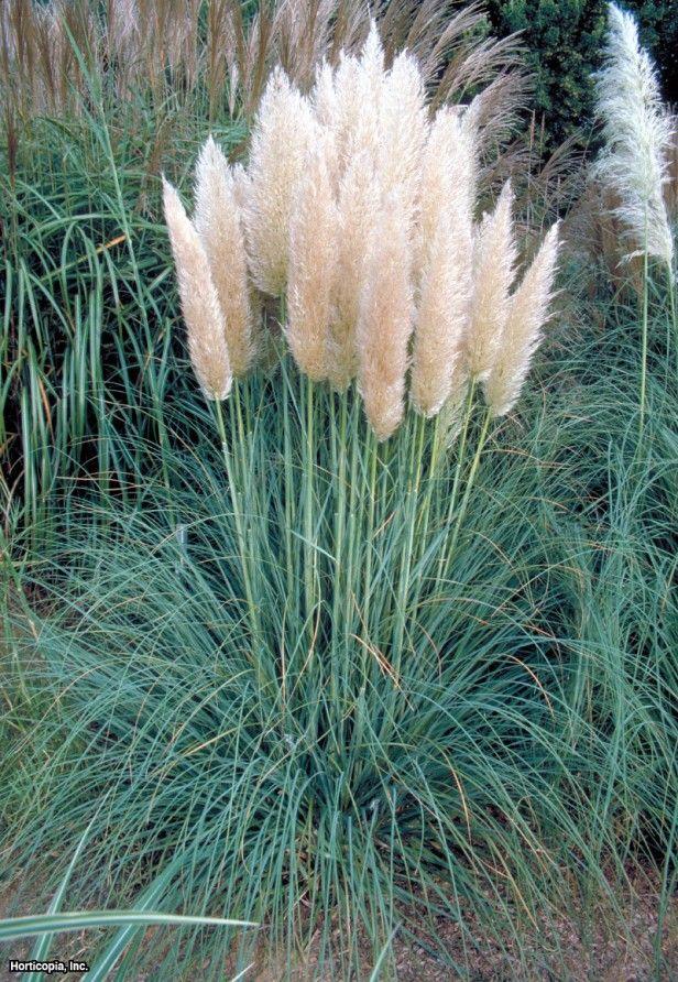 Pampas grass cortaderia selloana 39 pumila 39 outdoorsy for Names of ornamental grasses