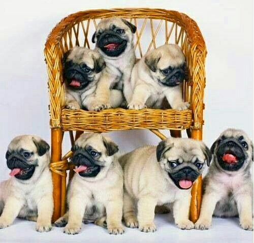 """We're ready for a new year of cuteness!"" www.jointhepugs.com"