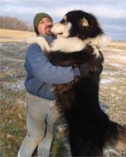 Strykker, a giant Alaskan Malamute. These dogs can get pretty big!  Visit http://www.noahsdogs.com/m/dogs/view/Alaskan-Malamute for more information about the breed.
