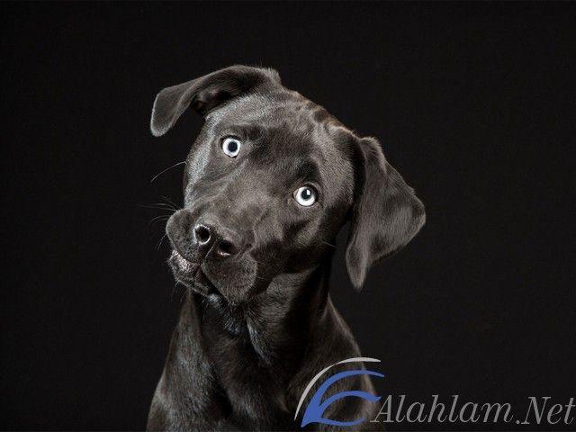 تفسير رؤية الكلاب في المنام للعصيمي الكلاب الكلاب في الحلم الكلاب في المنام الكلب في الحلم Labrador Retriever Labrador Animals