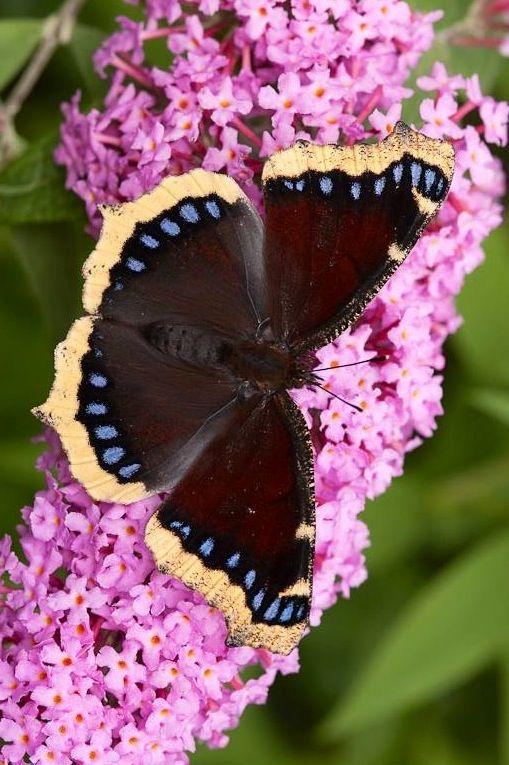 Mariposa de Capa de luto [Vanessa antiopa] sobre Rosado Buddleia (Bush de mariposa)