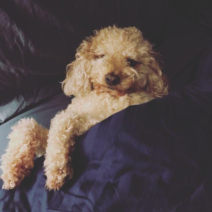 Sleepy girl. #cavapoo #toastergirl #puppy