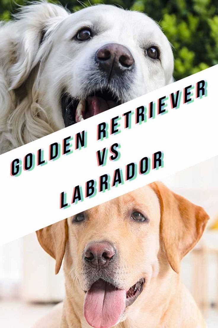 Golden Retriever Vs Labrador Labrador Labrador Retriever Dogs