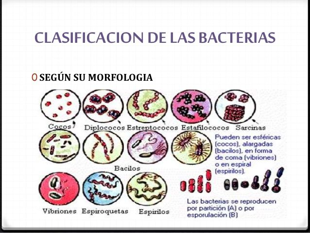 CLASIFICACION DE LAS BACTERIAS  0 SEGÚN SU MORFOLOGIA