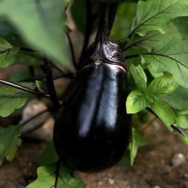 EGGPLANT SEEDS - On Sale Now...by the Packet or in Bulk!