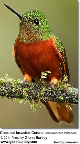 "( Chestnut-breasted Coronet ) * * "" I lost me book: ' How To Shit On Humans.' """