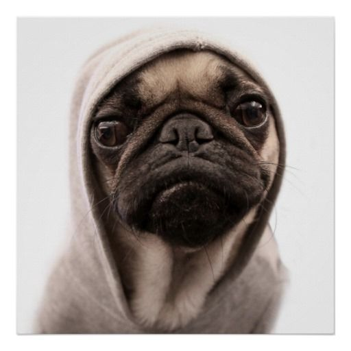 Close Up Of Pug Wearing Hoodie Poster Zazzle Zazzle Poster Wall Decor Print Pug Pugs Dog Dogs Funny Cute Pet Pets Buy Pugs Pugs Funny Pug Life