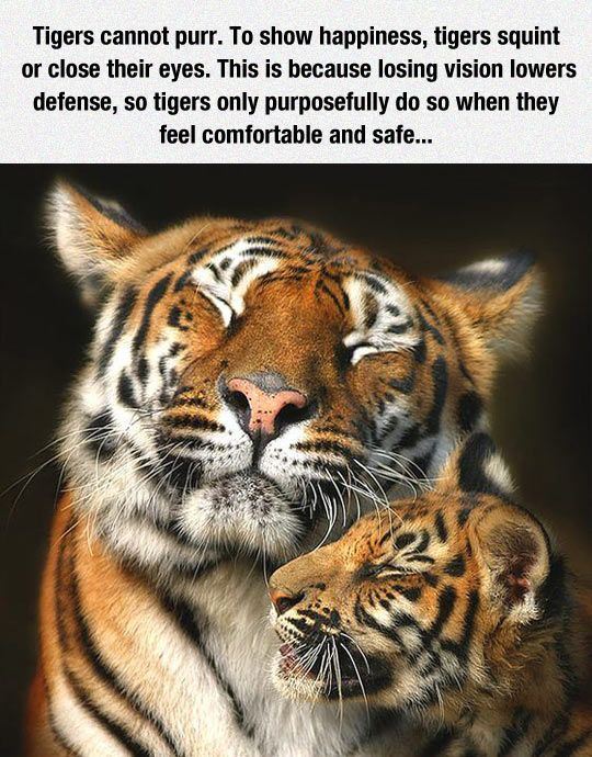 Tigers Can't Purr