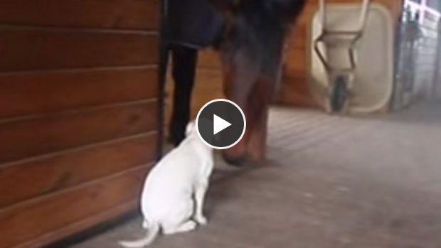 Alors qu'ils sont dans une écurie les deux animaux jouent ensemble et se font des câlins. C'est une belle preuve d'amour et d'amitié.