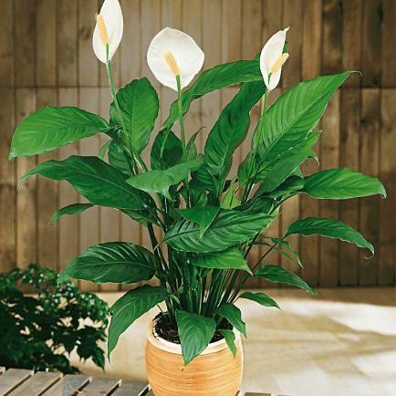 Einblatt (Spathiphyllum),1 Pflanze
