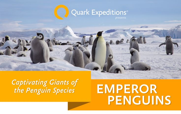 Discover where to see Emperor penguins, what makes these largest of the species special, and other fun penguin facts in an infographic from the leader in polar expeditions.