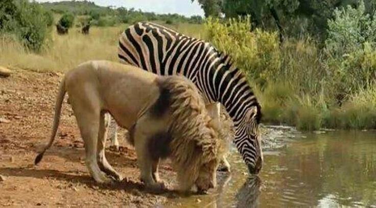 lion and zebra set aside the predator prey relationship