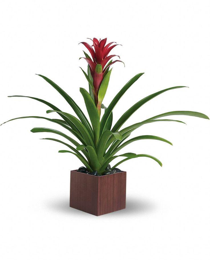 Scarlet Star - Guzmania lingulata - Picture, Care Tips