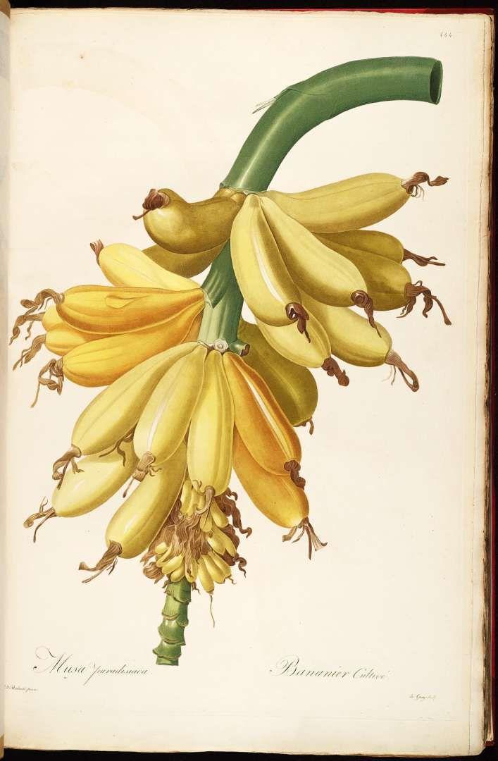 Musa paradisiaca L. - Plantain Redouté, P.J., Les Liliacées, vol. 8: t. 444 (1805-1816) [Redoute]