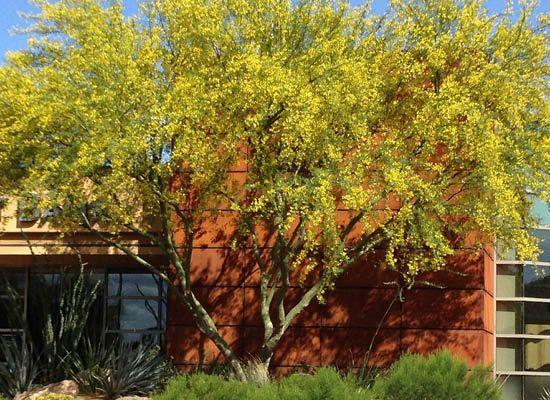 Museum Palo Verde for Sale | Fast Growing Desert Trees - Moon Valley Nursery