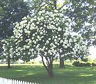 (Hydrangea Tree)...site is a great Midwest small ornamental tree reference guide !!
