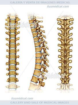 Ilustración vértebras dorsales. Son doce vértebras de la parte central de la columna vertebral y ...