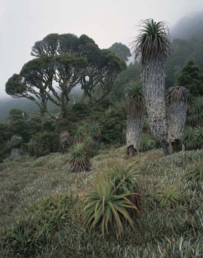 "The Wilderness Gallery - Photograph by Peter Dombrovskis | ""Pandani in the Mist, Mount Anne, Southwest Tasmania"" from exhibition in Tasmania, Australia 