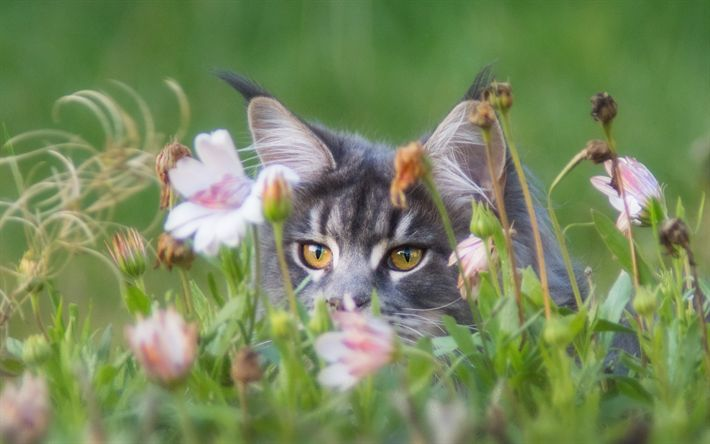 Download wallpapers gray cat in the grass, furry cat, pets, cats, green grass