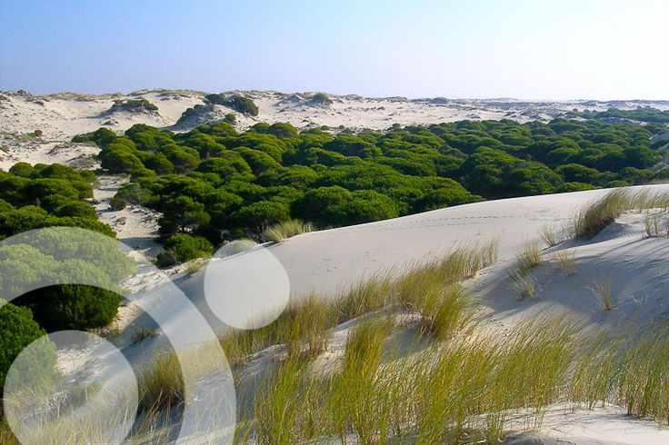 """Sand dunes """"eating"""" pine woods in Doñana National Park. More information to plan your visit to #Doñana in www.qnatur.com"""