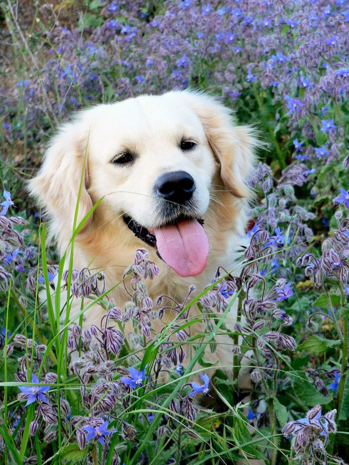 SPRINGGGGGG ! #cute #dog #chien #labrador #goldenretriever #pet #animal Discover other photos HERE ==> https://fr.yummypets.com/pets/176747/photos/2310323