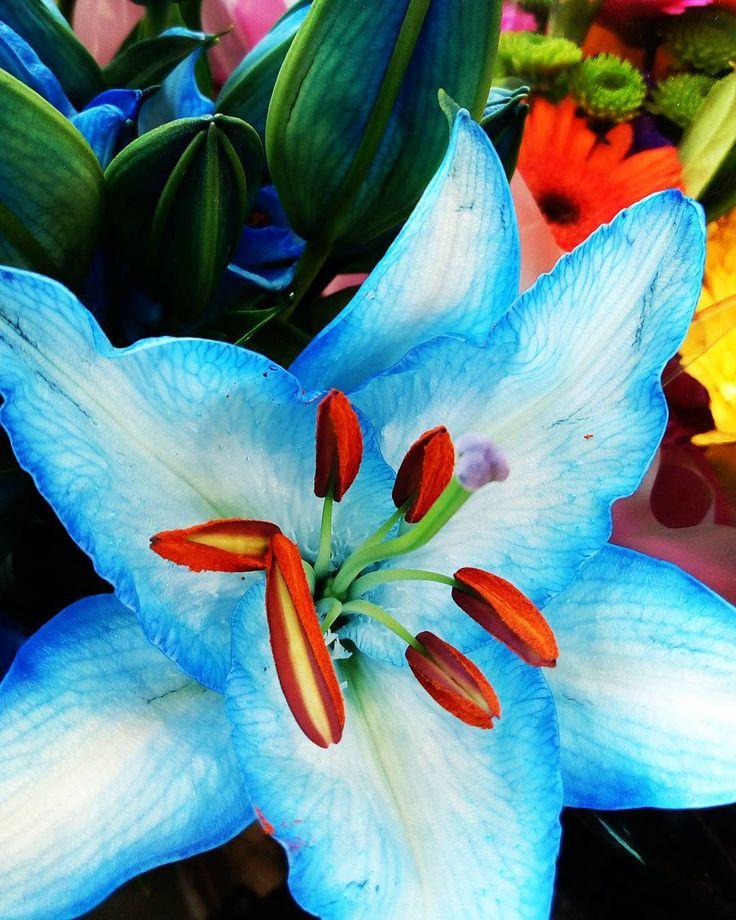 Even dyed flowers are gorgeous!  . . . . . . . . #lilies #lily #dyedflowers #prettyflowers #blueflowers #flowers #instaflowers #blueflowers #instadaily #flowersofinstagram #blue #vivid #vividcolours #iloveflowers #wow #colourpop #instacolours #colourful #stamen #plantsofinstagram #plantsandflowers #flowery