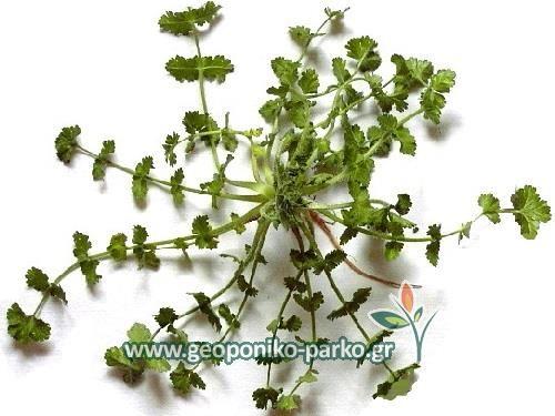 Σπόροι αρωματικών φυτών - Βοτάνων : Σπόρος καυκαλίθρα εγχώρια -φακ.25 gr