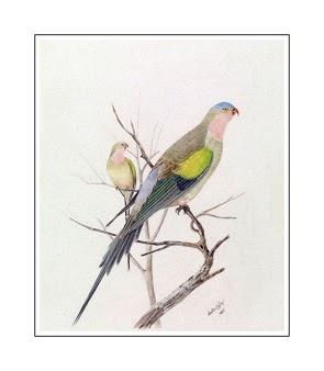 Neville HP Cayley-Princess Parrot-Polytelis Alexandrae