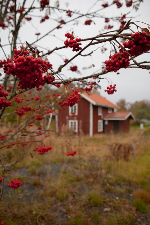 cozyingermany:  (via Chanterelles and rowan-berries | Fine Little Day