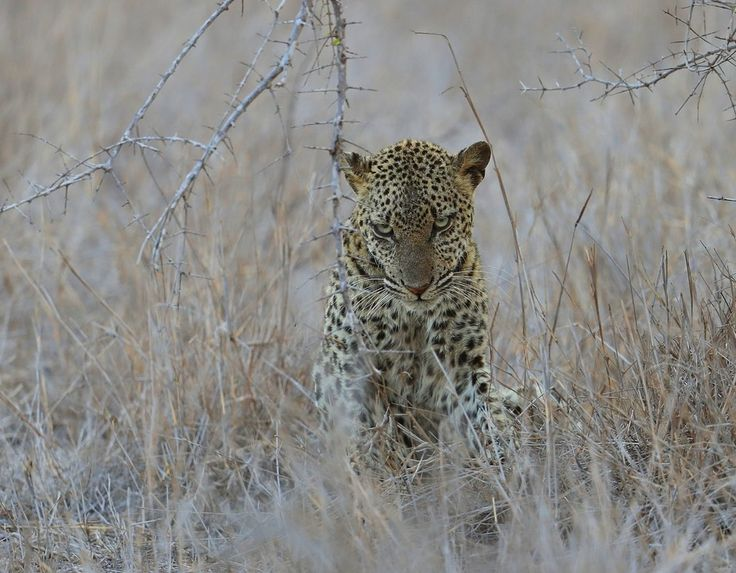Leopard. (sick)