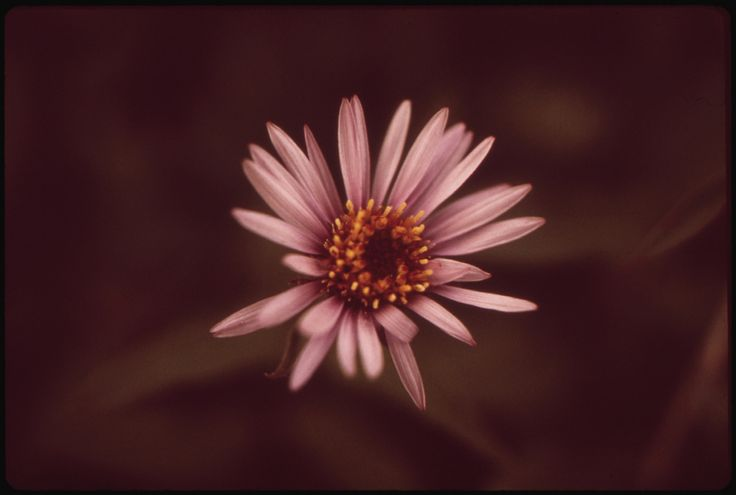 https://flic.kr/p/73Zyb1 | Alpine Aster 08/1973 | Original Caption: Alpine Aster 08/1973  U.S. National Archives' Local Identifier:  412-DA-7979  Photographer:  Cowals, Dennis, 1945-  Subjects: Alaska (United States) state Environmental Protection Agency Project DOCUMERICA   Persistent URL: catalog.archives.gov/id/550464  Repository:  Still Picture Records Section, Special Media Archives Services Division (NWCS-S), National Archives at College Park, 8601 Adelphi Road, College Park, MD…