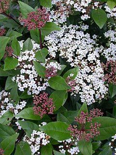 Viburnum tinus (Sneeuwbal), smal, glimmend donkergroen blad, grote tuilen bloemen in winter, groenblijvend, dicht vertakt, matig winterhard