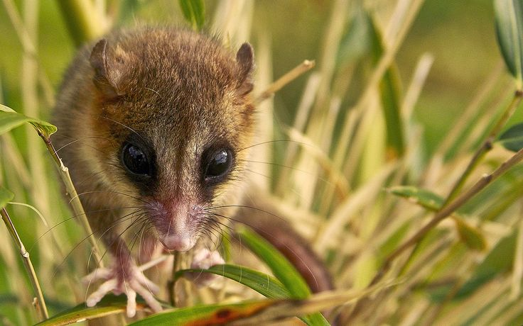"""Monito del monte (Spanish for """"little monkey of the mountain"""")"""