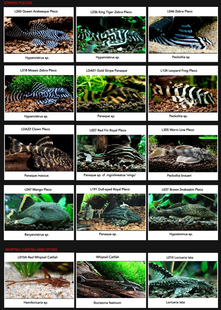 25 best ideas about plecostomus on pinterest freshwater for Different types of pet fish
