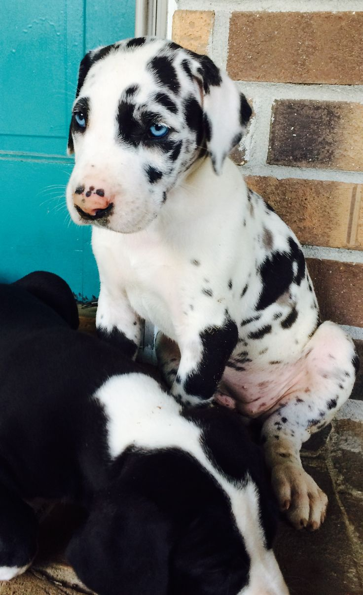Most beautiful Great Dane puppy I've ever seen. #Wolf Bay Great Danes. 6 weeks old.
