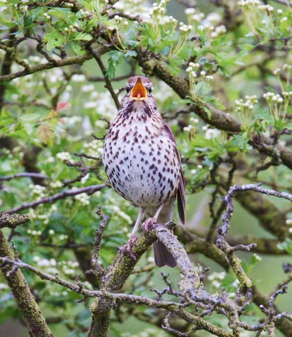 Song Thrush Turdus philomelos.