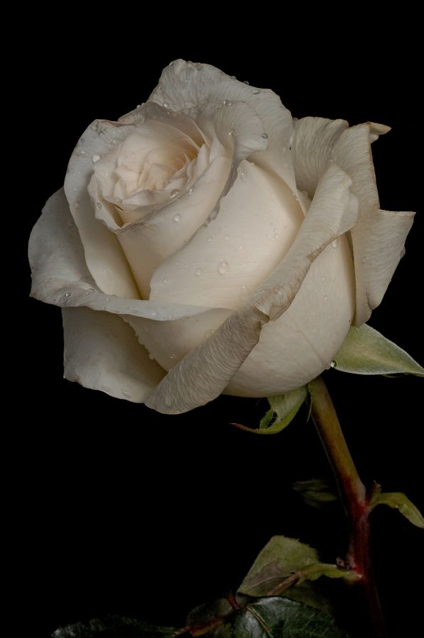 white rose with drops by Cristobal Garciaferro Rubio, via 500px