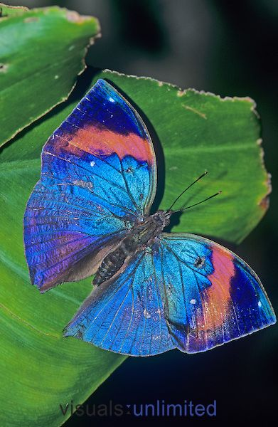 ~~Indian Leaf Butterfly (Kallima inachus), Family Nymphalidae by R. Al Simpson~~