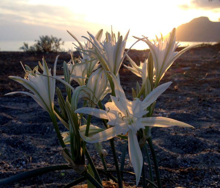 Alianthos Garden Hotel in Plakias, Alianthos flowers of the beach, Plakias, Crete, Rethymno, Holidays in Greece, summer on the beach, sunset, lilly. We love Plakias and Alianthos Garden Hotel.