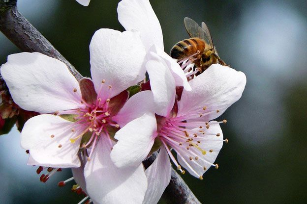 Bee Shortage Leads To Development Of Self-Pollinating Almond Trees | Earth Eats - Indiana Public Media