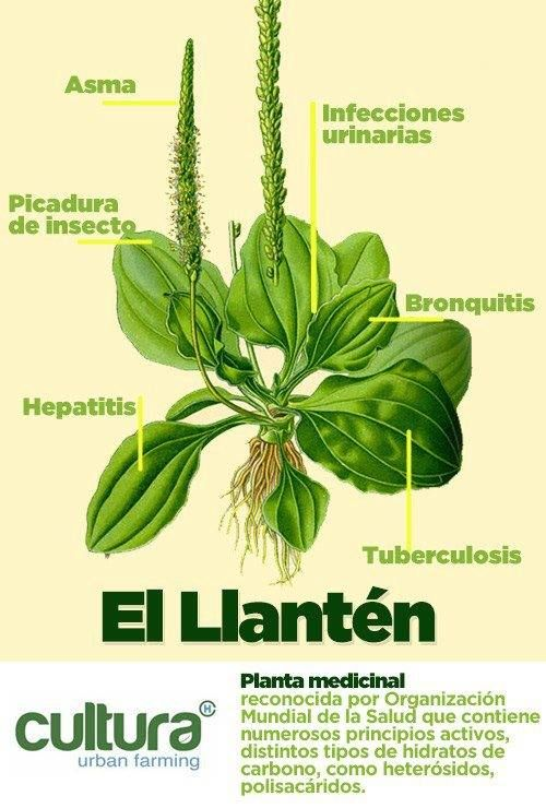 Para la garganta irritada, tos, resfríos; para el hígado o mala digestión, y muchas cosas más, es esta planta maravillosa.