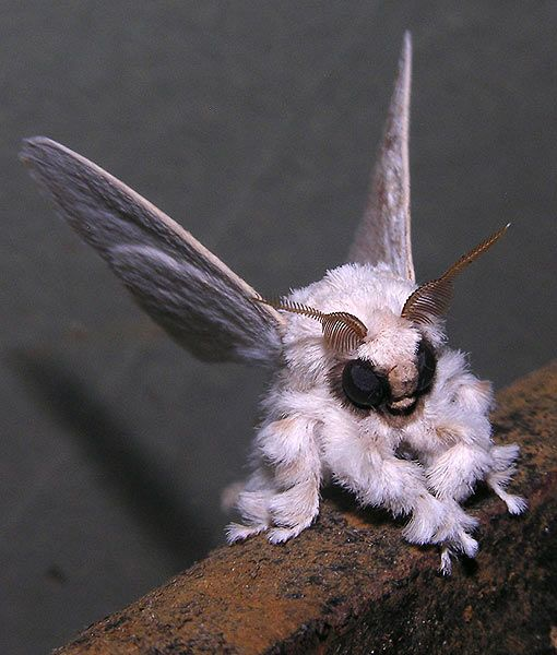 No Bark, No Bite, but Lots of Fluff: Meet the Poodle Moth